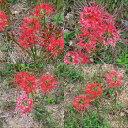 彼岸花の球根(鱗茎)20個送料込