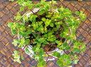 多肉植物 クラッスラ属 ペキュリアリス カット苗10本