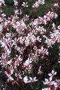ガウラ(アカバナ科)ピンク 苗 2本+1本(小)別名:ハクチョウソウ ヤマモモソウ