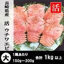 長崎県産 活ウチワエビ 大 1kg以上 【お正月・お歳暮】ギフトにもどうぞ。 伊勢海老