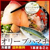 はまち ハマチ 鮮魚 厳選!活け〆 オリーブハマチ 《1本まるごと:4kg超:下処理》香川が誇るブランド魚を丁寧に下処理しお届けします! ギフト からご自宅用まで、天然物をも凌駕する絶品の味わいをお届け