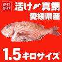 【送料無料】 活け〆の真鯛を丸ごとお届け!1.5kg前後(原体サイズ) ◆愛媛を筆頭に最良の鯛をお届