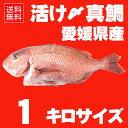 【送料無料】 活け〆の真鯛を丸ごとお届け!1kg前後 ◆愛媛を筆頭に最良の鯛をお届けします!(養殖: