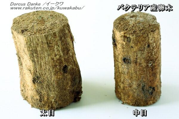 バクテリア産卵木★中目