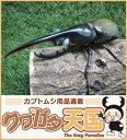 世界最大級カブトムシの王様◆ヘラクレスヘラクレス成虫オス140mmUPペア 累代CB ※オス・メスセット商品