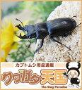 キュウシュウオニクワガタ幼虫(宮崎県産)累代F2*オスメス判別しておりません。