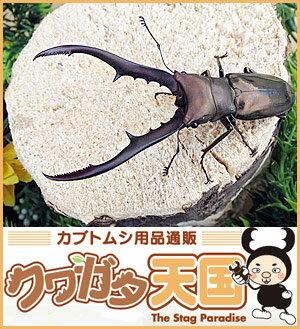 ◆メタリフェルホソアカクワガタ幼虫1.2令(ペレン産WF1)*オスメス判別しておりません。