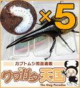 H.ヘラクレス幼虫5頭セット!H.ヘラクレス幼虫(1.2令)...