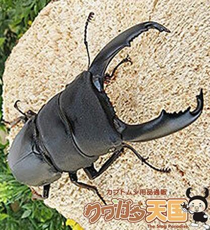 ◆「セレベスオオヒラタクワガタ80mmUP」ペア:スラウェシ島産 野外採取(WD)