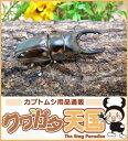 菌糸ビン付き ゼブラノコギリクワガタ幼虫飼育セット◆ゼブラノコギリクワガタ幼虫1頭+菌糸ビンE-800オス、メス判別していません。