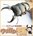 ◆「国産(本土)ヒラタクワガタ幼虫 ※オス、メス判別していません【1.2令】和歌山県産