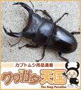 ◆「国産オオクワガタ幼虫:1頭」 ※オス、メス判別していません