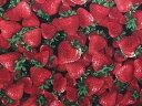 USAコットン 生地 布 タイムレストレジャーズ ストロベリー C1810Strawberry 入園入学 イチゴ いちご 写真調プリント 商用利用可能