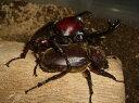国産カブトムシ オス1匹+メス1匹 フリーサイズ 京都府 今年天然採集 かぶとむし 昆虫