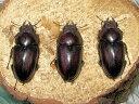 国産ノコギリクワガタ♀3頭セット ALLサイズ天然採集【※生体につき、日時指定は、2週間以内にお願い
