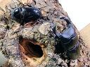 国産オオクワガタ ♂65mmUP ペア今年羽化 新成虫 くわがた 昆虫