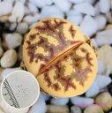 多肉植物 リトープス 麗虹玉 種子10粒 Lithops dorotheae ドロテアエ 育て方の説明書付き