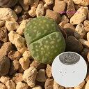 多肉植物 リトープス メセン 李夫人 種子10粒 Lithops salicola 育て方の説明書付き