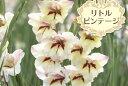 春咲きグラジオラス リトルビンテージ