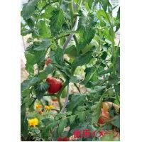 DAIM [第一ビニール] トマト用支柱 15...の紹介画像2