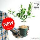 new!! スラリと伸びた オリーブ苗 3.5号サイズ 鉢カバーセット オリーブ