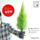 Re:new!! 苗木 ゴールドクレスト 3号 コニファー 成長速度の速い植物 寄せ植えや、お庭のシンボルツリーに! ウィルマ クリスマスツリー クレスト 垣根 生垣