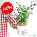 【お試しサイズ】 シマトネリコ 3号サイズ トネリコ苗木 バルコニスト 敬老の日 ポイント消化 観葉植物