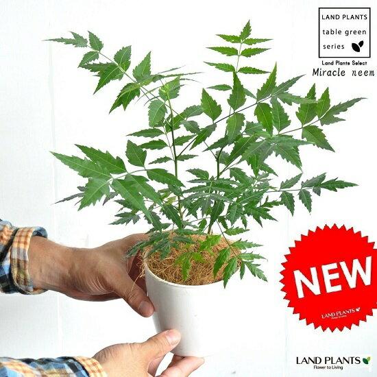 ミラクルニーム(虫除けの木) 白色プラスチック鉢セット 4号サイズ