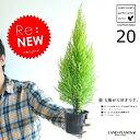 ゴールドクレスト 3号 (20本セット) 苗木 コニファー 成長速度の速い植物 寄せ植えや お庭のシンボルツリーに! ウィルマ クリスマスツリー クレスト 垣根 生垣 ポイント消化 観葉植物 敬老の日 ポイント消化 観葉植物