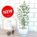 ユーカリ (グニー) 白色 丸形 陶器鉢 丸鉢 鉢植え 陶器 ホワイト ユーカリの木 ユーカリプタス フトモモ グニ コアラ 観葉植物 送料無料