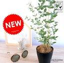 ユーカリ (グニー) 4号 黒色 プラスチック鉢 鉢植え プラ鉢 ブラック 黒ユーカリの木 ユーカリプタス フトモモ グニ コアラ インテリアバーク 観葉植物