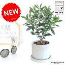 オリーブ セメント シリンダー 陶器鉢 鉢植え 陶器 コンクリポット 丸形 グレー 灰色 灰 オリーブの木 観葉植物 苗 苗木