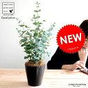 【お試し】 ユーカリ(グニー) 4号 黒色 プラスチック鉢 鉢植え プラ鉢 ブラック 黒ユーカリの木 ユーカリプタス フトモモ グニ コアラ インテリアバーク 観葉植物