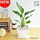 オーガスタ 質感の良い白色台形陶器鉢の ストレリチア・ニコライ ストレチア 天国の白い鳥 敬老の日 ポイント消化 観葉植物