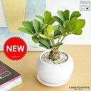 New!! ザミア 白色丸型陶器鉢に植えた ヒロハザミア・メキシコソテツ