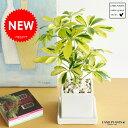 【ポイント10倍】New!! 美しい葉色 斑入りカポック白色スクエア陶器鉢に植えた シェフレラ バリエガータ