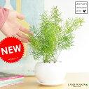 【 観葉植物 】 アスパラガス・スプレンゲリー 白色丸型陶器に植えた爽やか観葉 クサスギカズラ