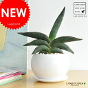 New!! サンスベリア ロブスター・ブルー白色丸型陶器鉢に植えた サンセベリア リュウゼツラン 敬老の日 ポイント消化 観葉植物
