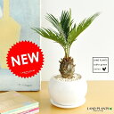 ソテツ 白色丸型陶器鉢に植えた 卓上サイズの蘇鉄 縁起の良い植物