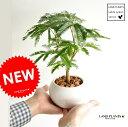 new!! エバーフレッシュ ネムノキ 白色丸型陶器に植えた 卓上サイズの ネムの木