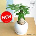 new!! 幹の太い パキラ 白色丸型陶器鉢の コンパクトな 幹太パキラ・アクアティカ