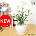 【 観葉植物 】 シマトネリコ 白色丸型陶器に植えた 室内用の トネリコ