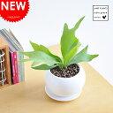 【 観葉植物 】【 超特価 】コウモリラン 白色丸型陶器に植えた オブジェのような植物!ビカクシダ 敬老の日 ポイント消化 観葉植物
