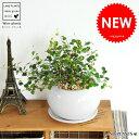 【 観葉植物 】 ワイヤープランツ 白色丸型陶器に植えたつる性の植物 ワイヤーバインtable gr