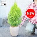 【ガーデングリーン】 ゴールドクレストデザインの良いテラコッタ鉢の 鉢植えコニファー ウィルマ クリスマスツリー ウイルマ