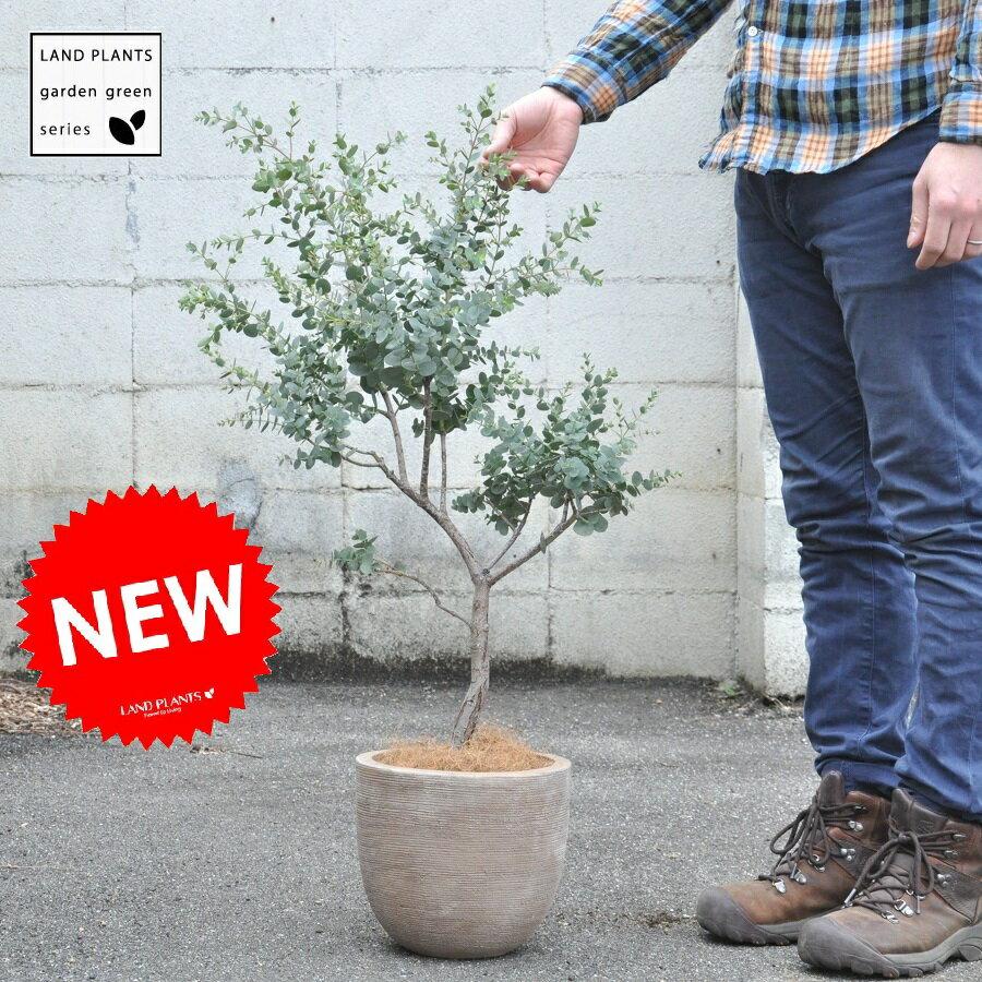 【大人気商品です】 ユーカリ デザインの良いテラコッタの 鉢植え ユーカリの木 ユーカリプタス フトモモ