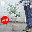 【大人気商品です】 ユーカリ デザインの良いテラコッタの 鉢植え ユーカリの木