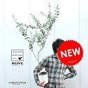 new!! オリーブ苗木 6号サイズ マンザニロ 白色鉢カバーセット オリーブ オリーブの木 オリーブ苗