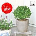 【本物】NEW!! セイヨウツゲのトピアリー デザインの良いテラコッタ鉢の 鉢植えボックスウッド・ボールGarden green series