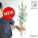 【季節限定商品】 New!! ユーカリ・グニー 4号サイズ 苗から育てよう♪ 4号サイズ ユーカリプタス フトモモ